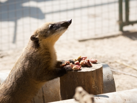 White-nosed Coati (Nasua narica) eating meat photo