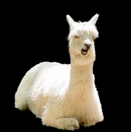 bizarre: Bizarre funny alpaca isolated on black