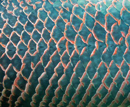 escamas de peces: Antecedentes de escama de pez gigante