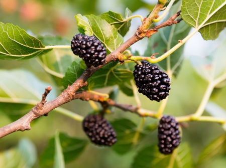 Closeup of mulberries growing on tree