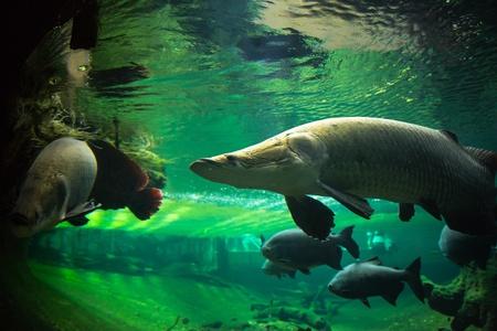 squama: Closeup of giant fishes underwater