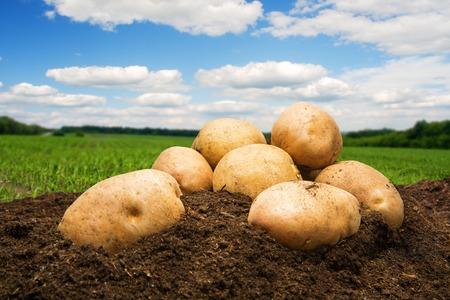Aardappelen op de grond onder de blauwe hemel