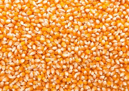 maize: Closeup of maize grains background Stock Photo