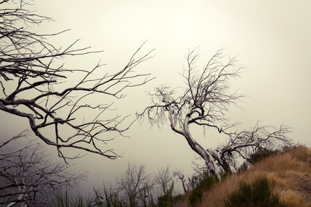 of pano: Old dry trees in fog. Toned