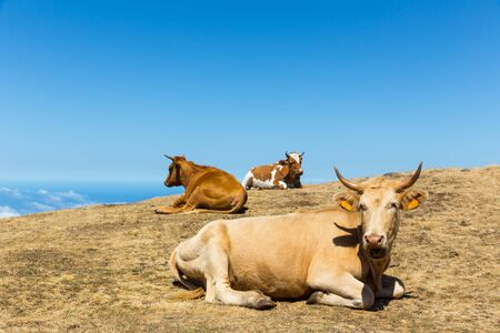 rural landscape: Cows lying in the mountains