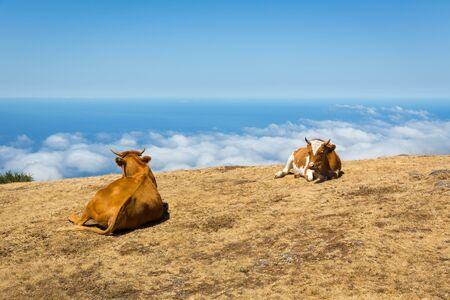 milker: Cows lying in the mountains
