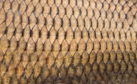 scales of fish: Peces escalas antecedentes de cerca