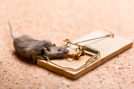 mouse trap: Mouse caught in the mouse trap on the floor