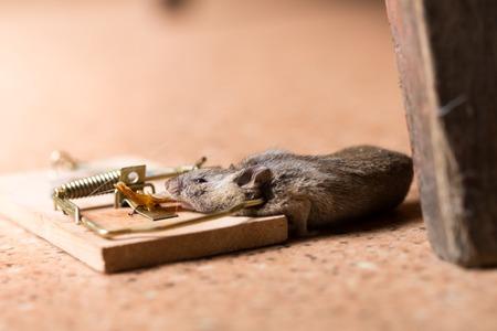 raton: Ratón atrapado en la trampa de ratón en el piso Foto de archivo