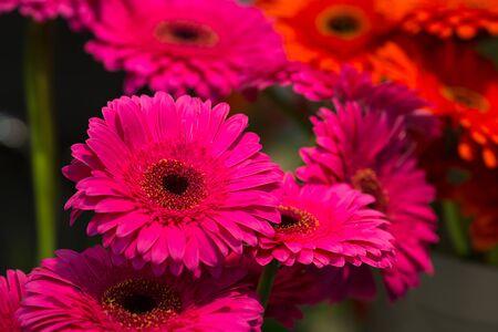 marguerites: Bright pink marguerites close up Stock Photo