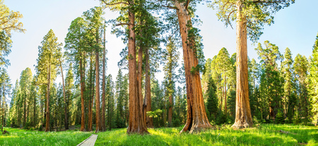 Grove with giant pine tree forest panorama