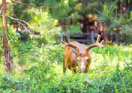 cervus: Deer in pine forest.