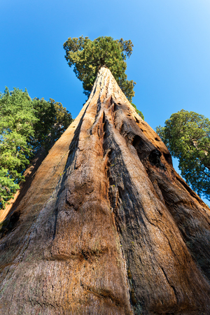 largest tree: Bottom view on Huge Redwood Tree
