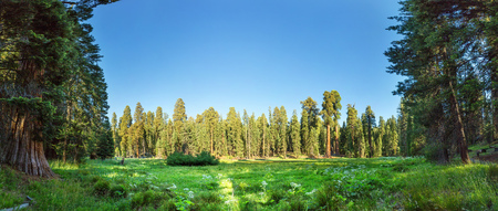 Meadow against huge pine forest panoramic view Stock Photo