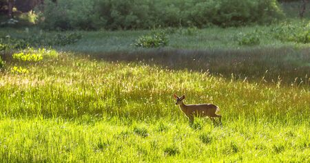 Fawn on the meadow.