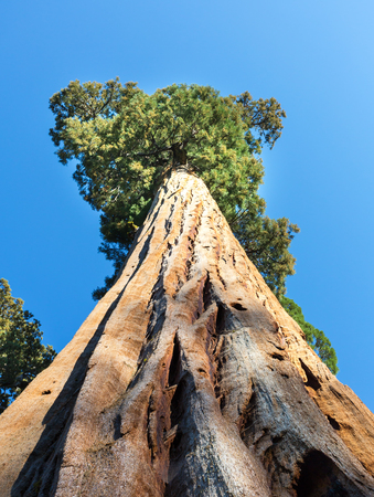 largest tree: Giant Sequoia redwood trees with blue sky Stock Photo