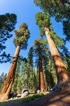 Bottom view on giant pine trees Stock Photo