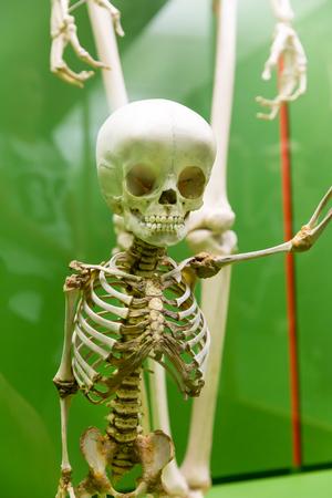 Closeup of baby skeleton in museum. Stock Photo