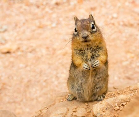 Ground squirell on sandy soil background. Stock Photo