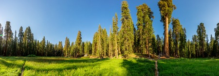 Meadow against huge pine forest panoramic view