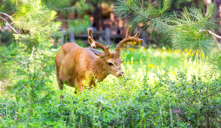 grandeur: Deer in pine forest.