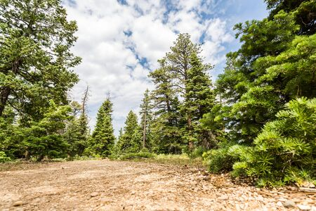 pine forest: Pine tree forest with dry soil at Bryce Canyon
