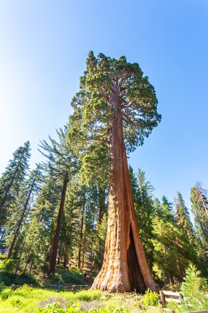 Giant Sequoia redwood trees with blue sky Stock Photo