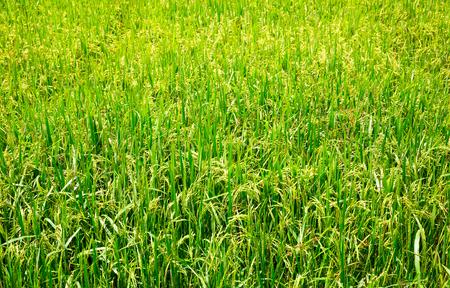 comestible: Rice field in Sri lanka, ceylon paddy plantation