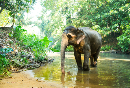 Ceylon elephant drink water from river in jungle