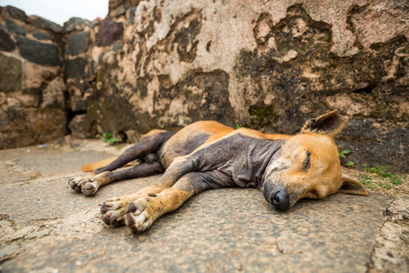 shri: Sleeping dog against grunge wall, Ceylon landscape