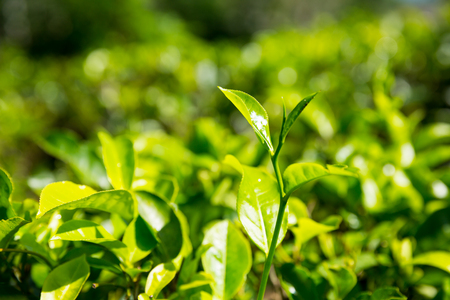 plucking: Ceylon tea bushes, green plantations of Sri Lanka Stock Photo