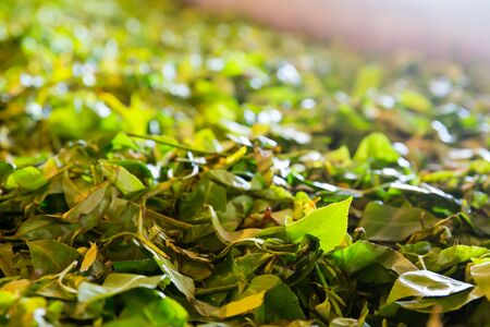 shri: Ceylon tea leaves closeup, harvest drying process Stock Photo