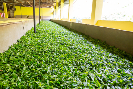 shri: Ceylon tea leaves drying process Stock Photo