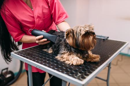 groomer: Pet groomer with haircut machine, dog hairstyle Stock Photo