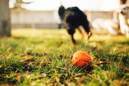 Watch dog finds a ball, training outdoor