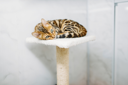 Cat with beautiful tiger coloring lies on stand Stock Photo