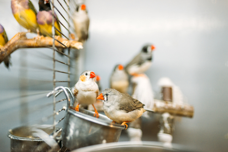 Domestic birds sitting on a stick in pet shop Stock Photo