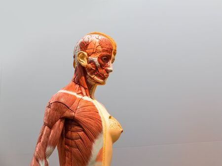 Anatomical model of female human body