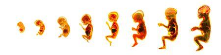 Maturation of human embryo, cycles of reproduction