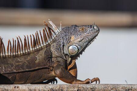 lizard in field: Primer punto de vista de la hermosa iguana