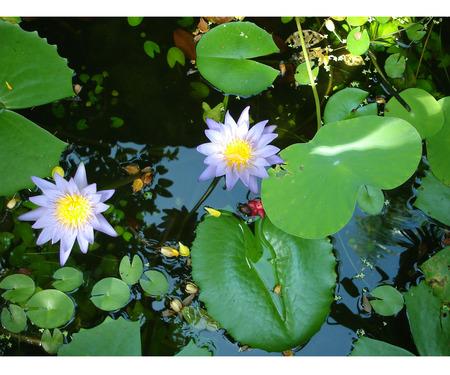 undisturbed: twin lotus