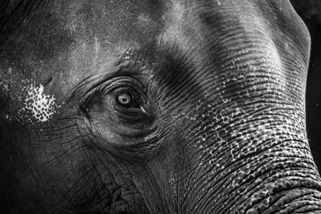 The elephant s face close up in BW tone  photo