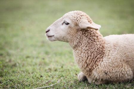 Sheep close up background  photo