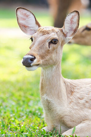 siamensis: Cervus eldi Stock Photo