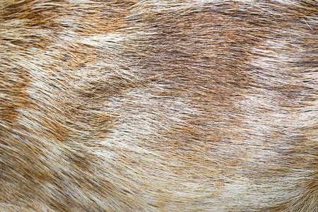 Cervus eldi skin Stock Photo - 27259678