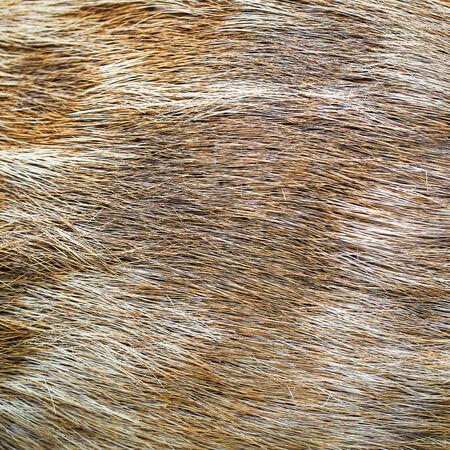 Cervus eldi skin Stock Photo - 27259679