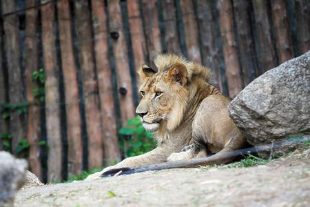 Lion  免版税图像
