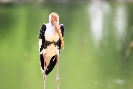 Painted Stork close up background  photo