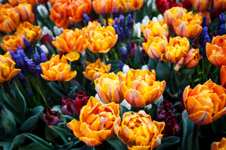 The beautiful Tulips in nature background  photo