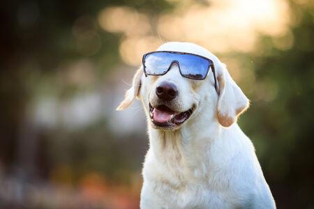 The portrait of Labrador. photo